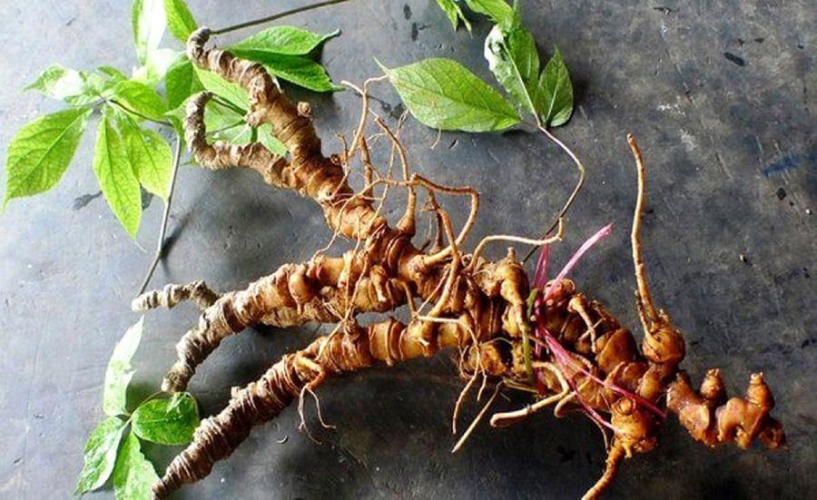 فوت و فن کاشت و تکثیر گیاه جینسینگ