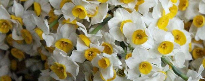 گل نرگس   گالری از انواع عکس گل نرگس زیبا و جدید  (2)