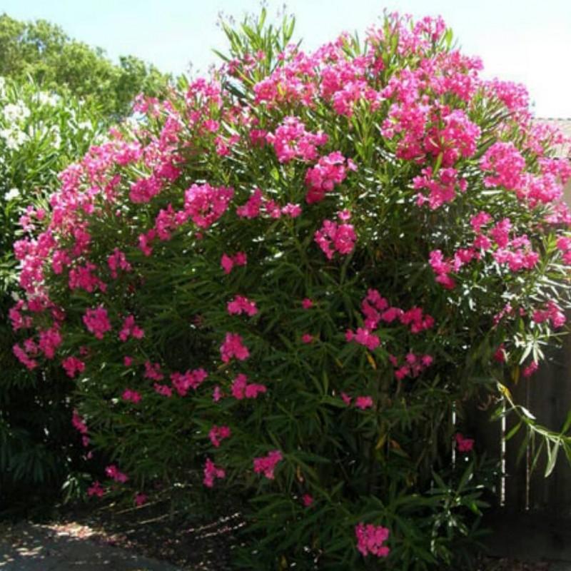 خرزهره گل زیبایی که باعث ایست قلبی میشود