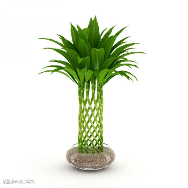 گیاه بامبو تصفیه کننده هوای خانه