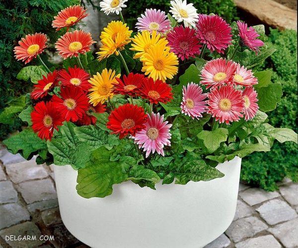 گل ژربرا اصفیه کننده فضای خانه