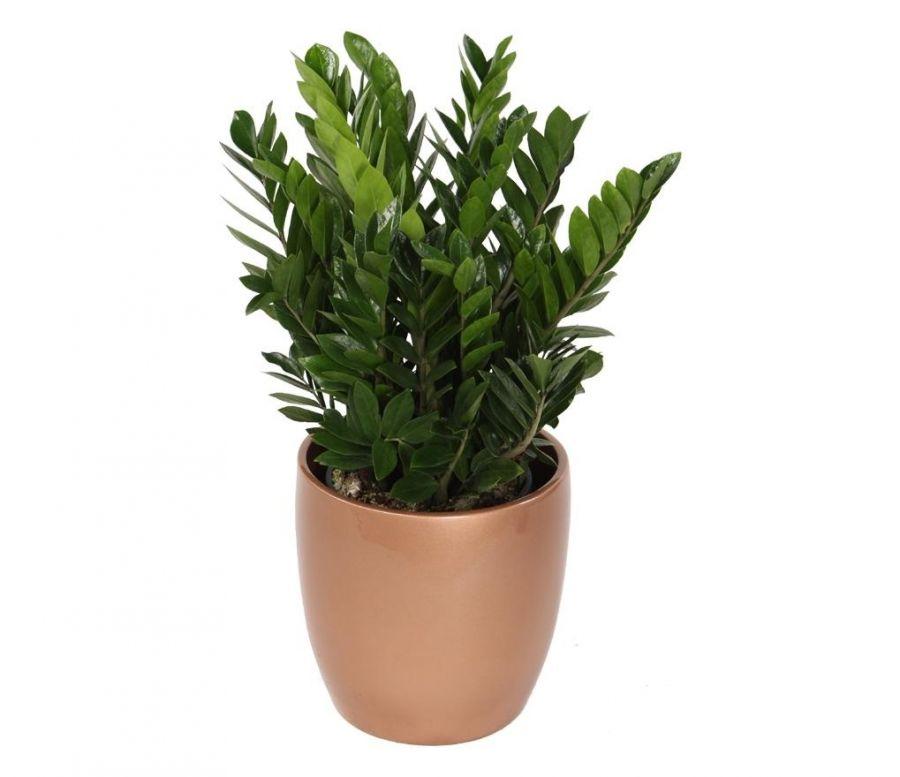 گیاه زاموفیلیا : از پرورش تا انواع روش تکثیر این گیاه زیبا