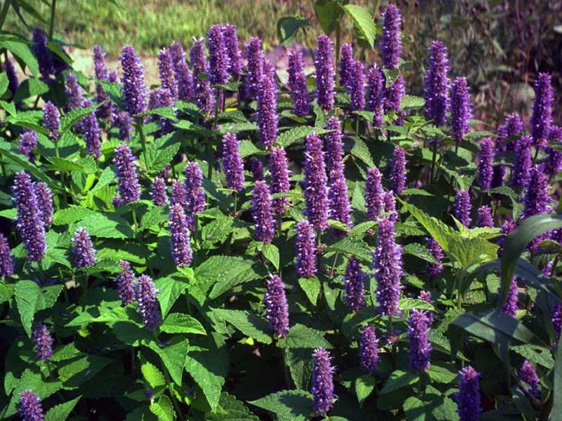 خواص دارویی و درمانی گیاه زوفا
