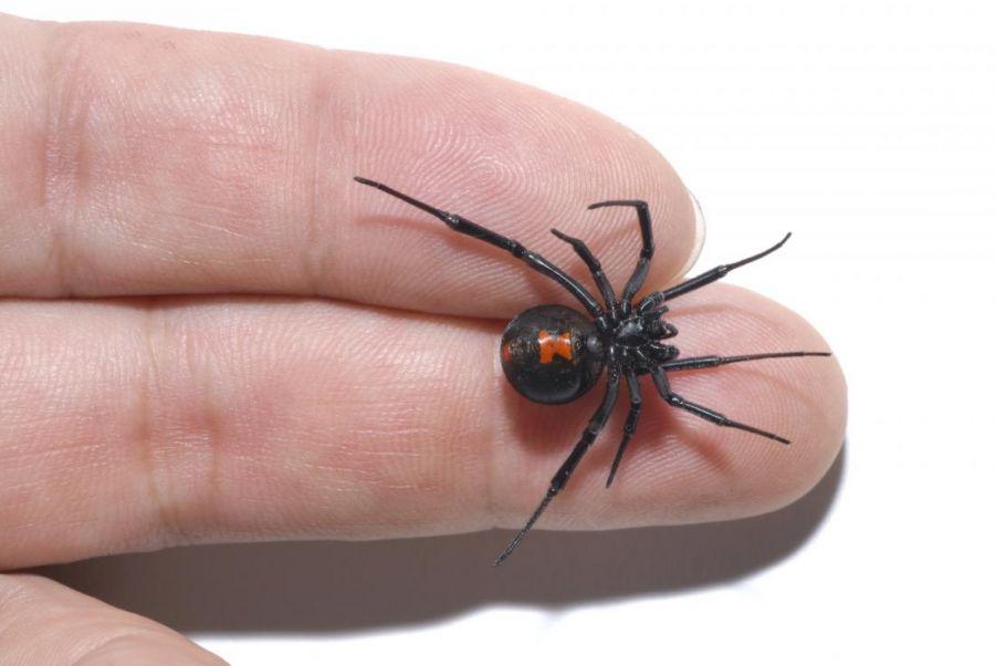 کاربردهای جادویی سم عنکبوت در درمان بیماریها