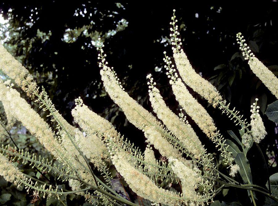 کوهوش چیست ؟ تاثیر گیاه کوهوش سیاه بر هورمون های زنان