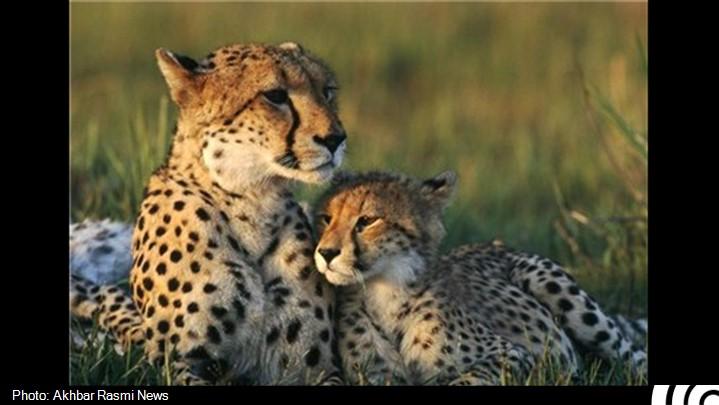 کشته شدن غم انگیز ۶ یوزپلنگ به دستان وزارت راه