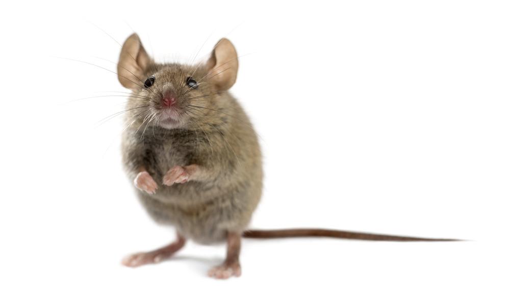 تعبیر خواب موش : دیدن موش در خواب نشانه چیست ؟