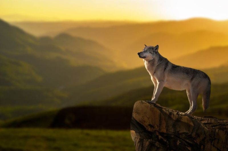 تعبیر خواب گرگ : ۳۶ نشانه و تفسیر دیدن گرگ در خواب