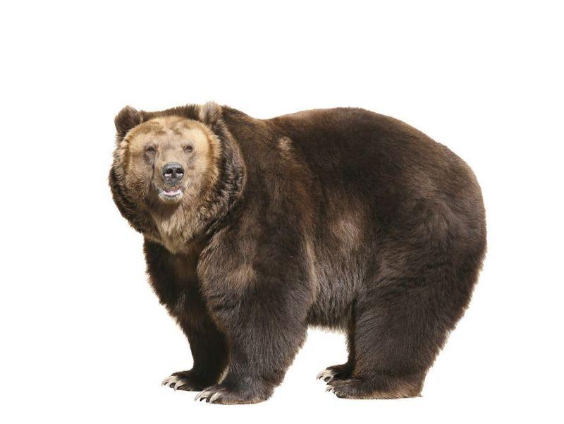 تعبیر خواب خرس : دیدن خرس ( خرس قطبی ) در خواب نشانه چیست ؟