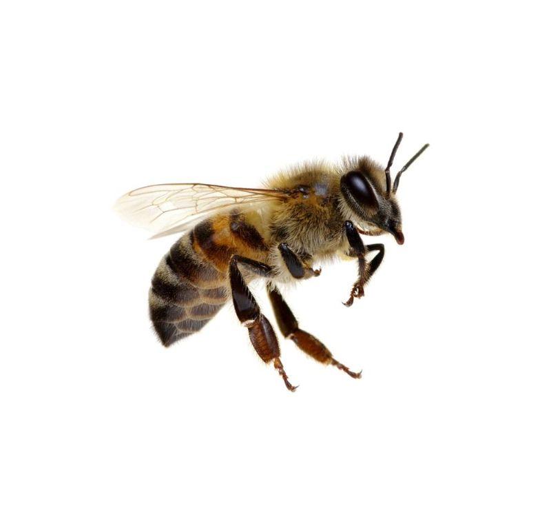 تعبیر خواب زنبور : دیدن زنبور در خواب نشانه چیست ؟