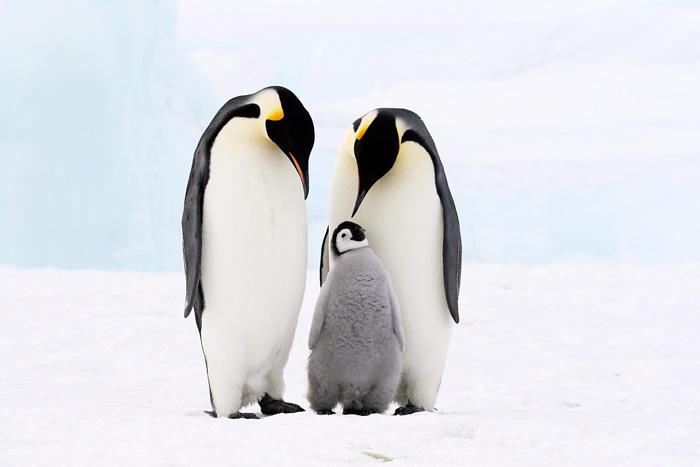 تعبیر خواب پنگوئن : دیدن پنگوئن در خواب نشانه چیست ؟