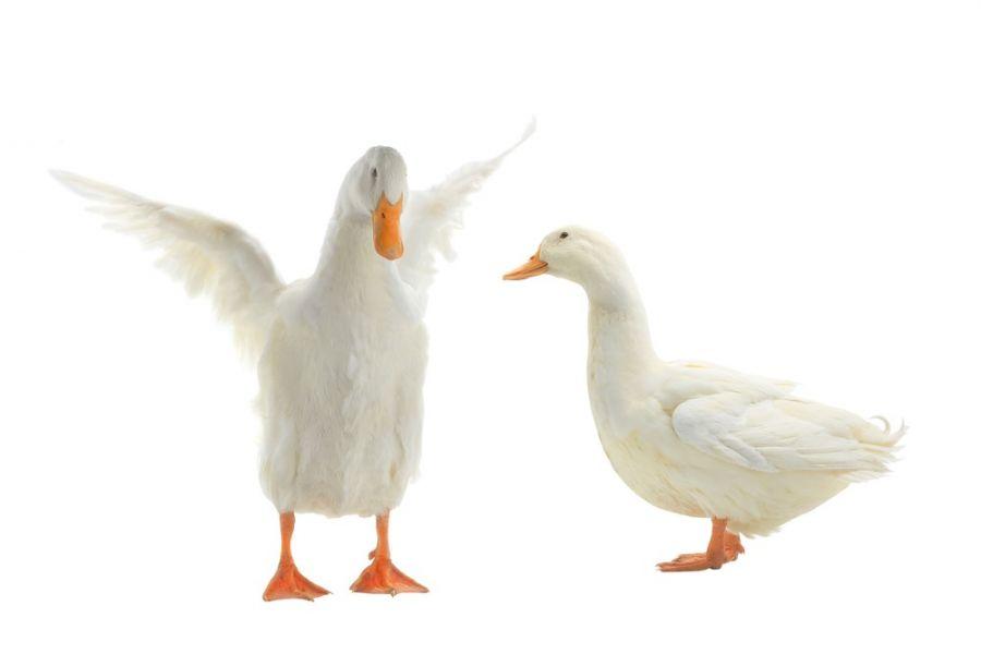 تعبیر خواب اردک : دیدن اردک در خواب نشانه چیست ؟