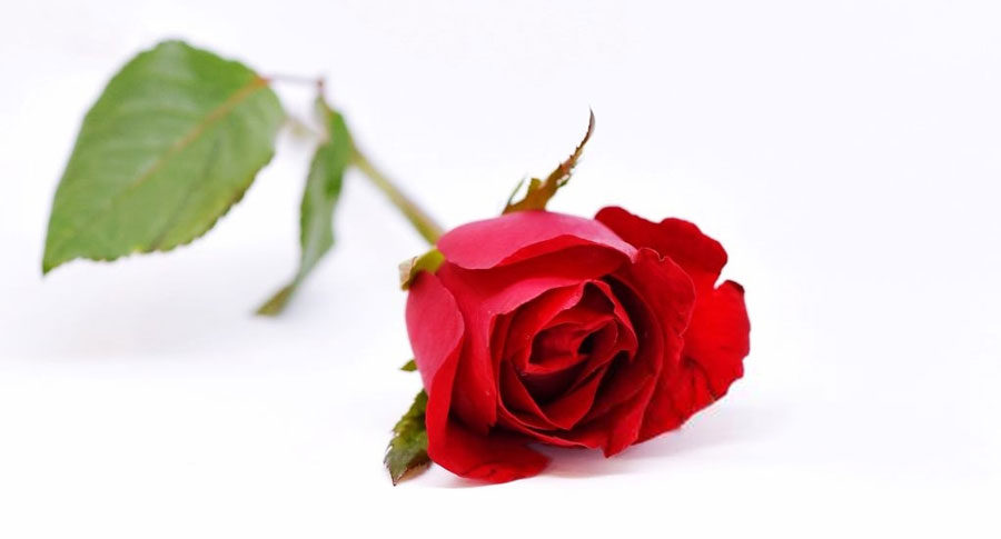 تعبیر خواب گل رز : ۳۲ نشانه و تفسیر دیدن گل رز در خواب