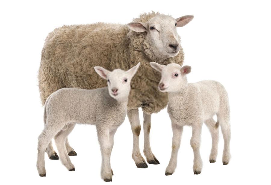 تعبیر خواب گوسفند : ۵۷ نشانه و معنی دیدن گوسفند و میش در خواب