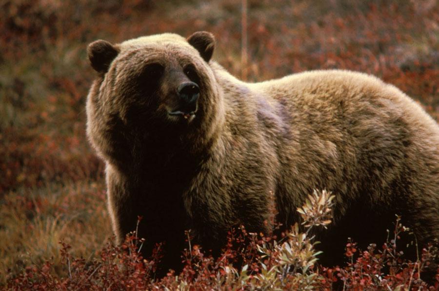 مرد روسی یک ماه در چنگال خرس اسیر بود + تصاویر هولناک