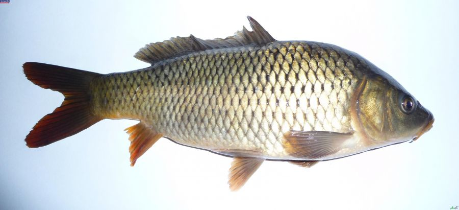 خواص و فواید مصرف ماهی با استخوان