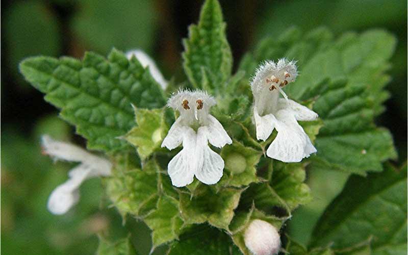 خواص گیاه افنان برای بیماریهای زنانه