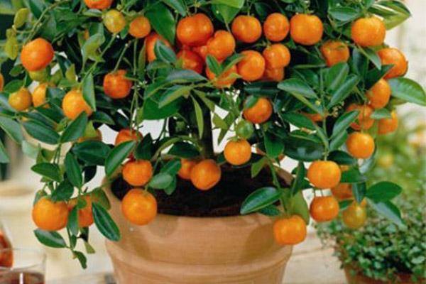 آموزش کاشت و پرورش درخت نارنگی در خانه