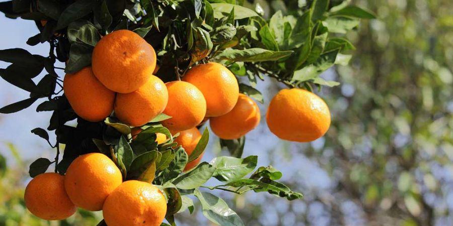 درخت نارنگی و روشهای نگهداری تکثیر