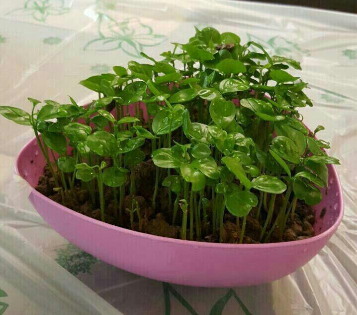 آموزش کاشت سبزه هسته نارنج برای عید