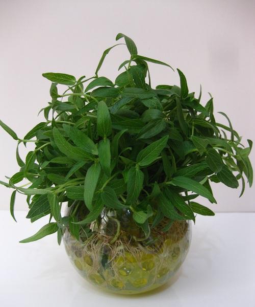 آموزش کاشت و نگهداری هسته نارنج در گلدان برای هفت سین