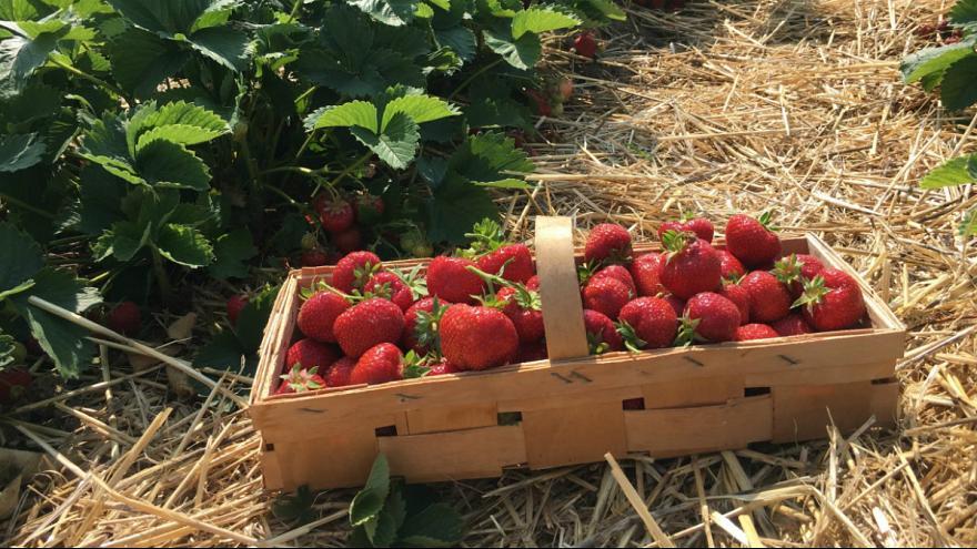 بذر توت فرنگی - توت فرنگی گیاهی چند ساله است