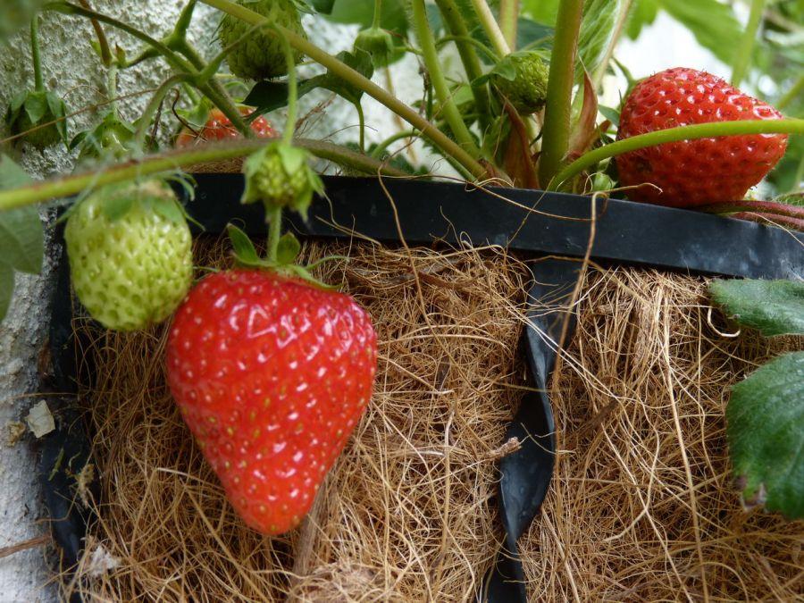 آموزش کاشت بوته توت فرنگی در منزل _ نحوه نگهداری گیاه توت فرنگی