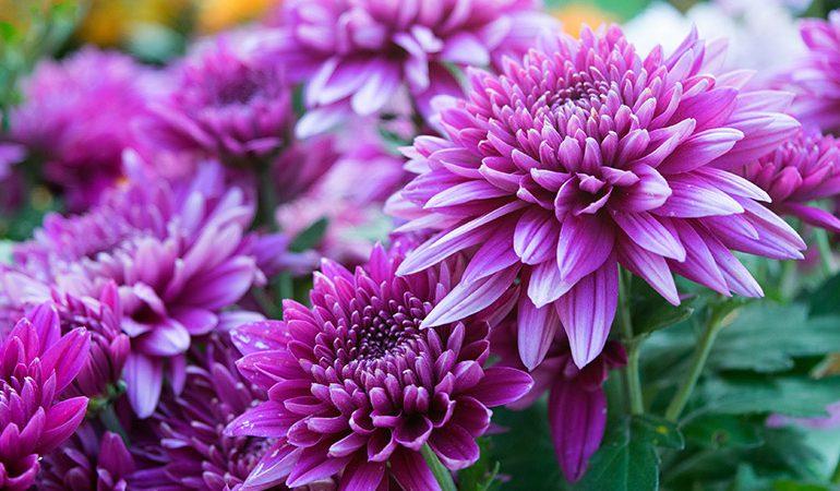 نگهداری گل داوودی درگلدان و مشکلات آن