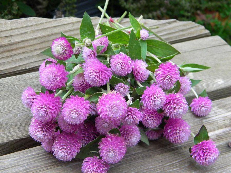 گل تکمه ای ، گیاهی مناسب برای مناظر خشک