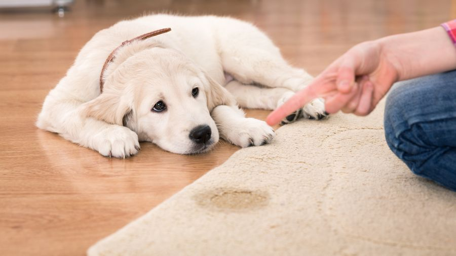از بین بردن بو و لکه ی ادرار سگ از روی فرش