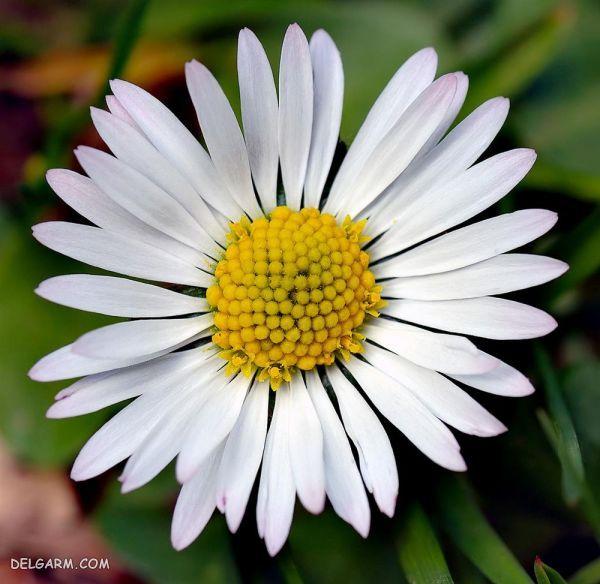 گل مینا : طرز تهیه دمنوش گل مینا + خواص