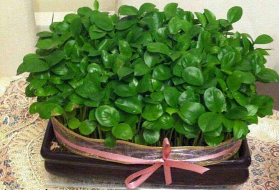 آموزش مرحله به مرحله کاشت سبزه عید با تخمه کدو
