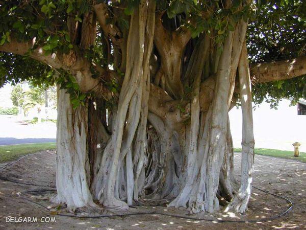 درخت لور (انجیر معابد) در قشم