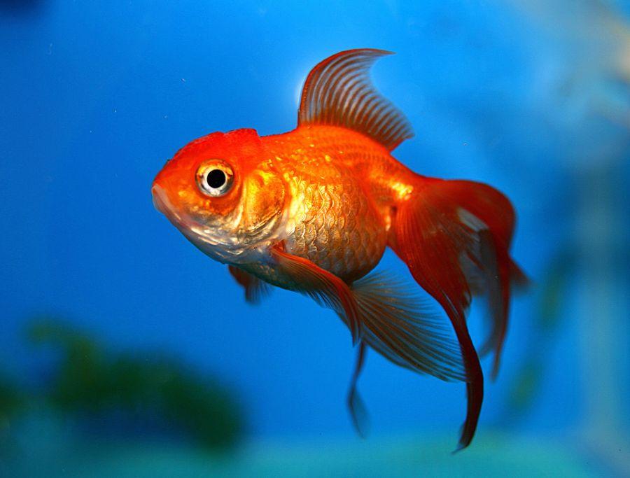 ۱۰ راهکار طلایی برای نگهداری از ماهی قرمز عید ۹۸