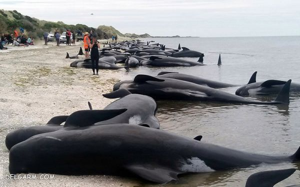 علت خودکشی نهنگ ها