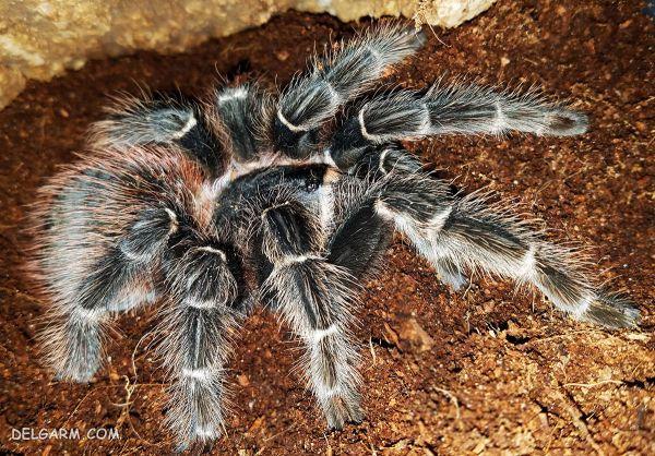 فرق رتیل و عنکبوت