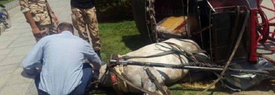 اسب درشکه نقشجهان از شدت گرما از حال رفت