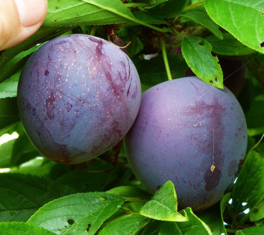 میوه آلو شابلون | ۱۶ خاصیت دارویی و درمانی آلو شابلون خشک