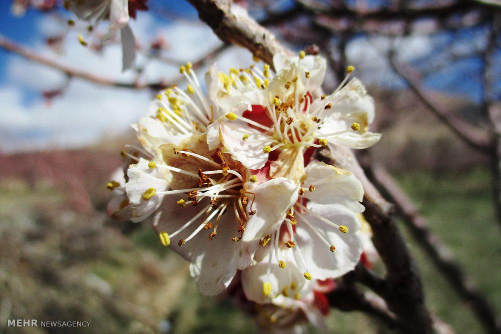 تصاویر سرمازدگی شکوفه درختان زرد آلو