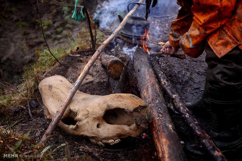 اکتشاف غیرقانونی استخوان ماموت در سیبری