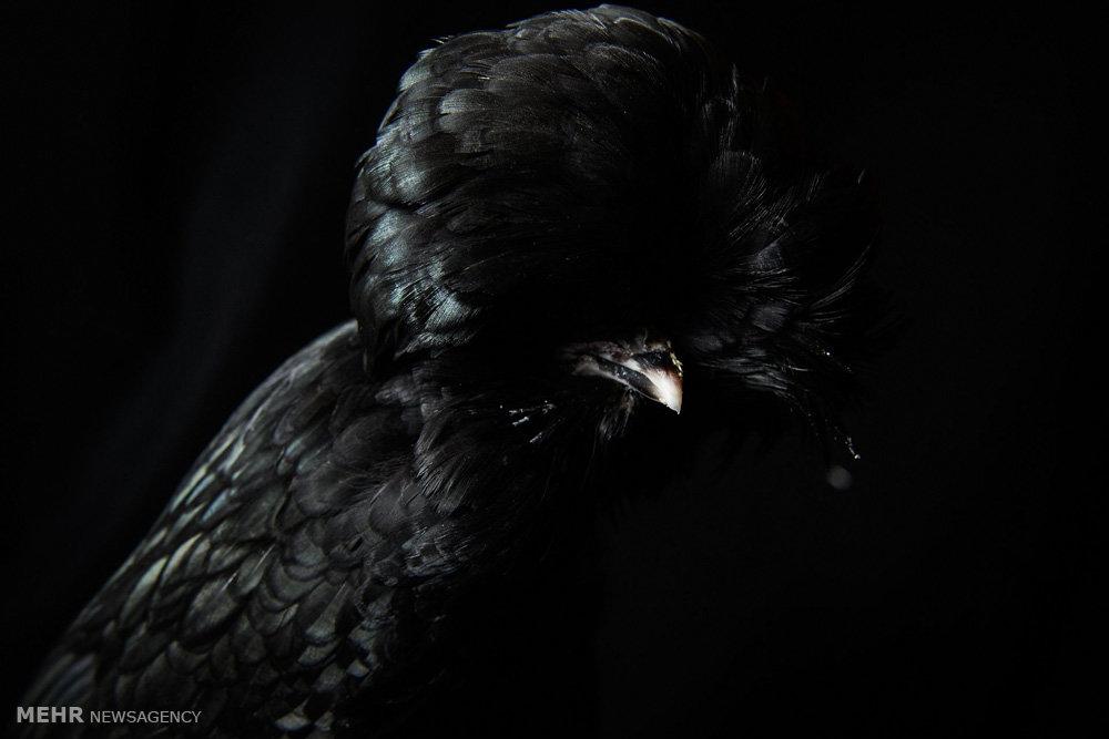نمایشگاه مرغ و خروس ها در انگلیس