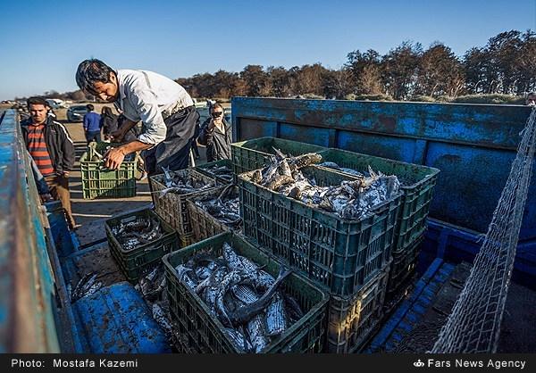صید ماهی در شبه جزیره میانکاله