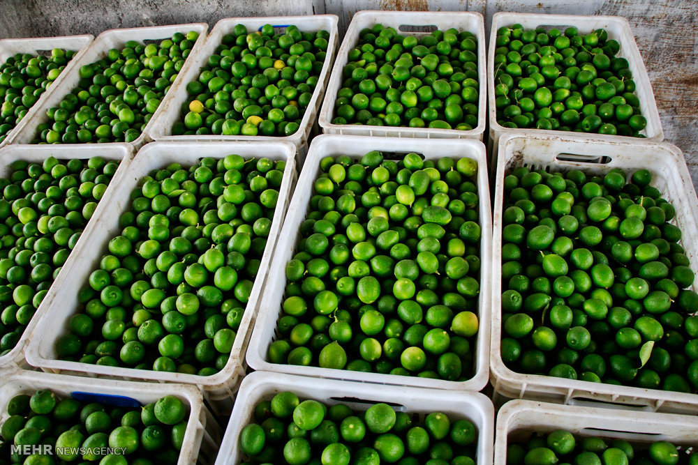 تصاویر نخستین جشنواره لیمو ترش رودان