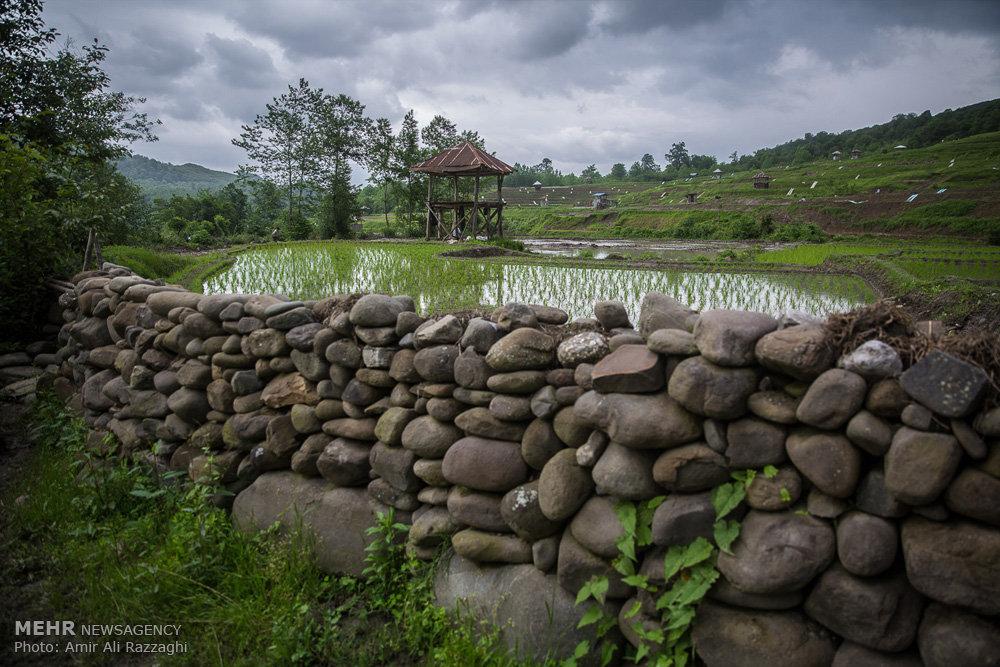 تصاویر نشاء برنج در شهرستان سواد کوه