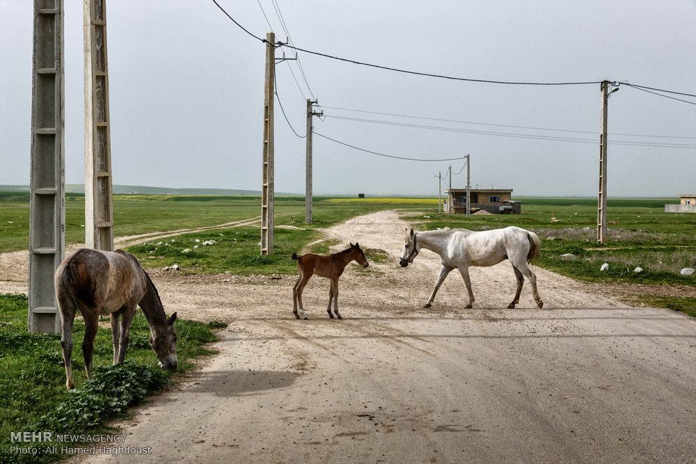 پرورش اسب در روستای صوفیان / عکس