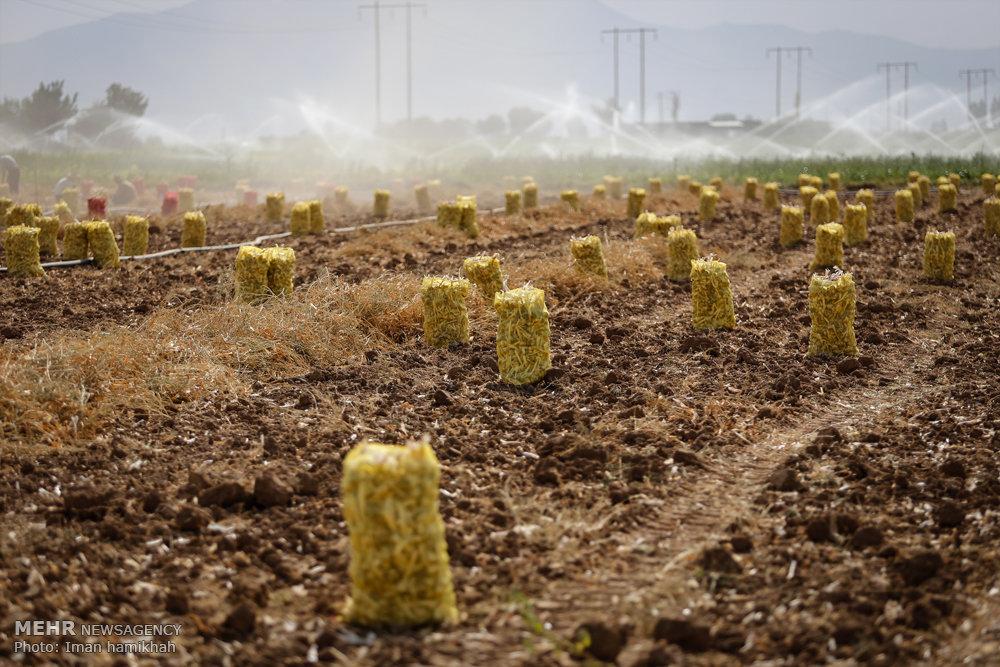 برداشت سیر از مزارع همدان / تصاویر
