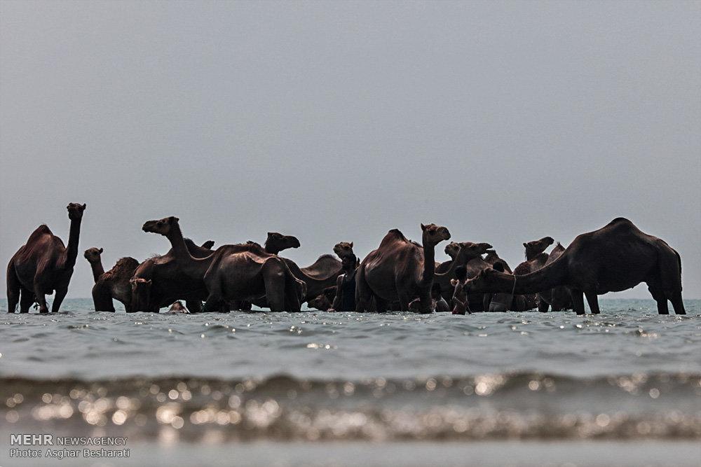 شستشوی شترها در جزیره قشم / تصاویر