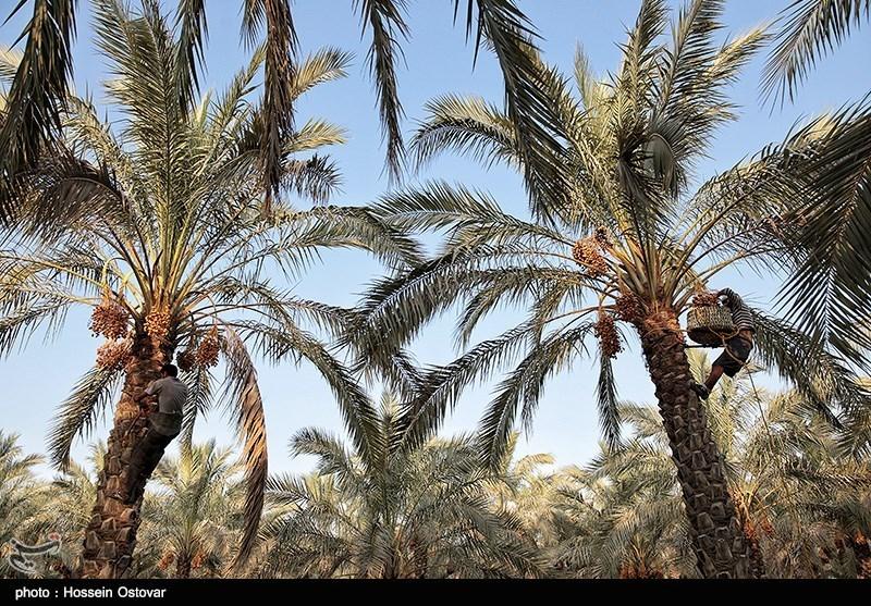 تصاویر و عکس های دیدنی از برداشت رطب در استان بوشهر