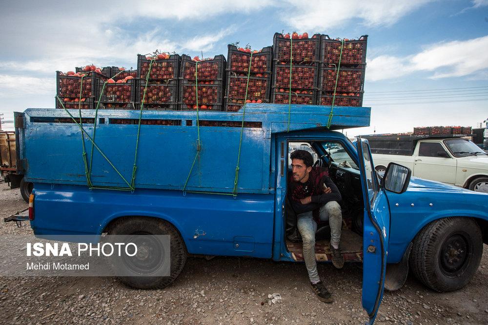 برداشت گوجهفرنگی در استان قزوین/ تصاویر