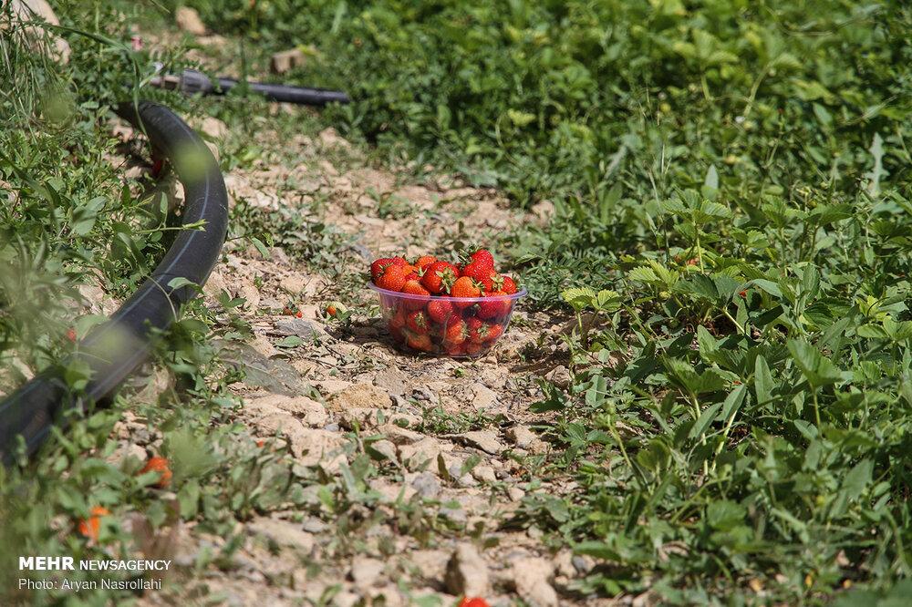 تصاویر برداشت توت فرنگی از مزارع کردستان